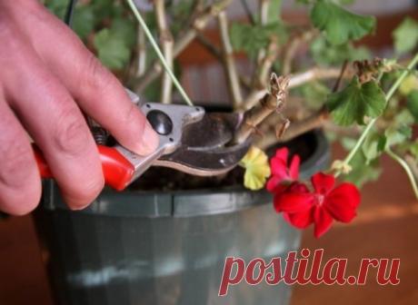 КАК ПРАВИЛЬНО ОБРЕЗАТЬ ГЕРАНЬ, ЧТОБЫ ОНА ПЫШНО ЦВЕЛА   Чтобы правильно обрезать герань, нужно учитывать тип цветка. Она может  быть многолетняя и однолетняя. Однолетнее растение обрезать не  обязательно. Это следует делать только для изменения формы растения.  Многолетняя пеларгония нуждается в обрезке 2 раза в год – весной и  осенью. Обрезка не только декорирует внешний вид, она способствует  зарождению большого количества крупных соцветий и увеличивает  длительность их ц...