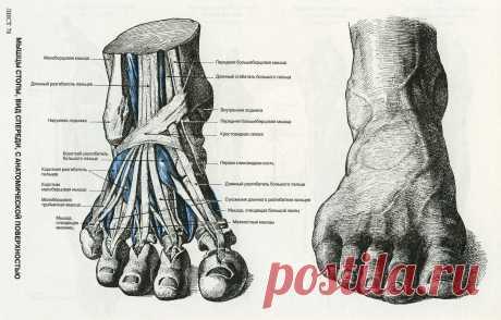 Мышцы стопы. Вид спереди