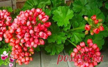 Пеларгония red pandora – это вам не герань! Эта тюльпановидная пеларгония досталась мне нежданно-негаданно.