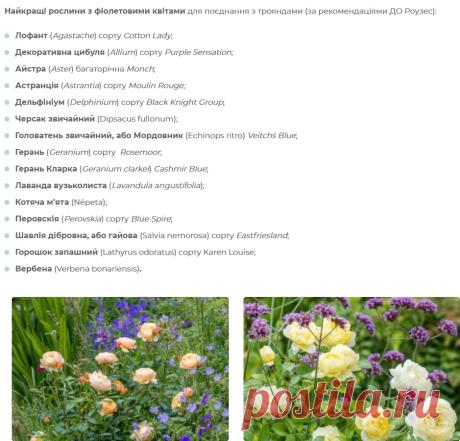 Найкращі партнери для троянд — поради від професіоналів. Схеми і фото квітників - ЗЕЛЕНА САДИБА