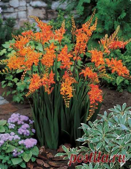 KROKOSMIYA, ILI MONTBRETSIYA  \u000d\u000a\u000d\u000a\u000d\u000a\u000d\u000aKrokosmiya - Crocosmia - Family: kasatikovy. Klubnelukovichny perennial plant a little similar to a gladiolus. Blossoms from July to September. In gardening the krokosmiya ordinary is used (…