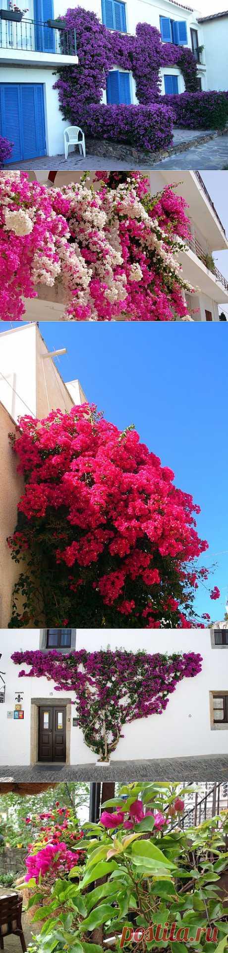 Сказочная красота цветущей лианы - бугенвиллии | Наш уютный дом