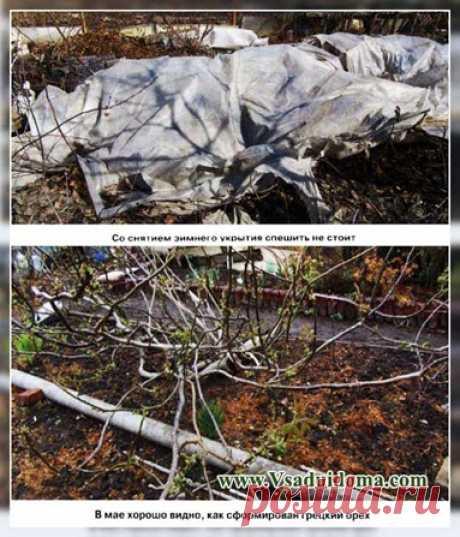 Грецкий орех на Урале - выращивание и уход   Сайт о саде, даче и комнатных растениях.