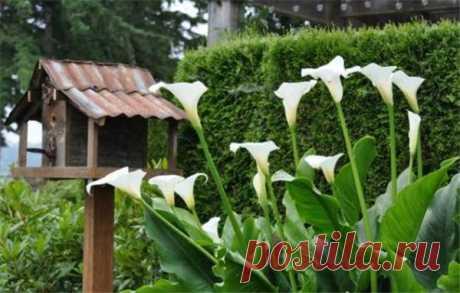 Каллы садовые: посадка и уход в открытом грунте | Краше Всех