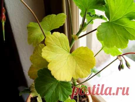 Почему у герани желтеют листья и что делать для красоты | Секреты сада. Дача, цветы | Яндекс Дзен