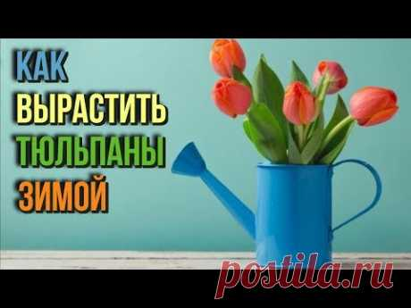 Como criar los tulipanes en invierno sobre la peana sin cada invernadero a la fiesta, necesaria a usted, - YouTube