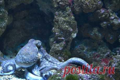 Недовольные самки осьминога бросаются в самцов ракушками Сидней окружен заливами с каменистой почвой и песчаным дном. Но в этом районе есть также залив Джервис, называемый «мегаполисом осьминогов». Биолог из Университета Сиднея Питер Годфри-Смит постоянно проводит там исследовательские работы, наблюдая за жизнью и поведением осьминогов вида...