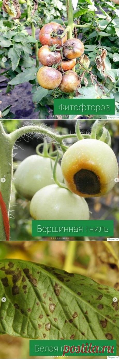 Основные болезни томатов