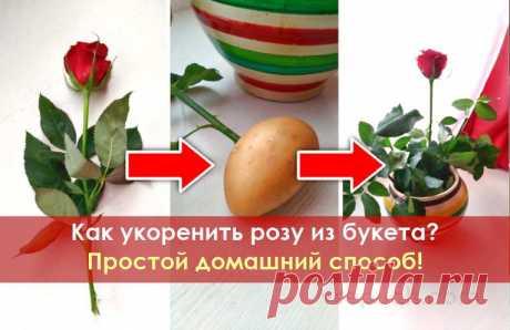 Как укоренить розу из букета? Простой домашний способ! Если вам понравились подаренные вам розы или вы просто хотите сохранить их живыми, как память о каком-то событии, то нет ничего проще! Просто укорените подаренные вам розы и превратите их в живой розовый куст.