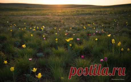Степные тюльпаны, Оренбургская область. Автор фото – Юлиана Шамшурина: nat-geo.ru/photo/user/344152/