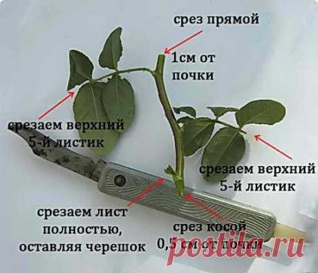 Размножение розы черенками осенью в домашних условиях видео — Колеса в Томске