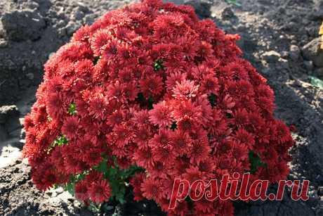 Шаровидные хризантемы в саду: посадка и уход