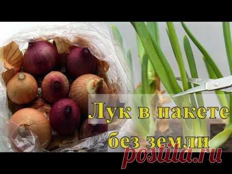 Как вырастить лук на зелень в пакете без земли