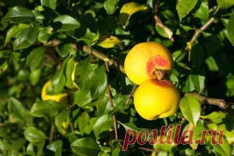 Айва японская полезней лимона | Ваши 6 соток | Яндекс Дзен