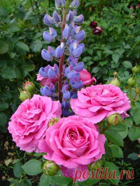 Розы и Дельфиниум