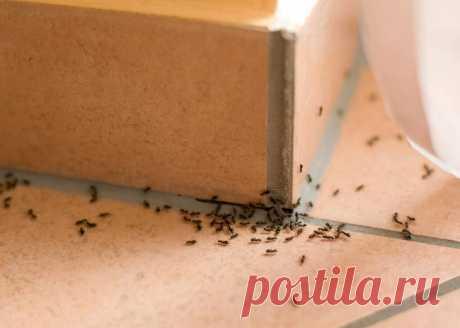 Завелись муравьи: как бороться народными средствами
