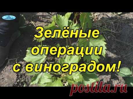 Первоочередные зелёные операции на винограде!