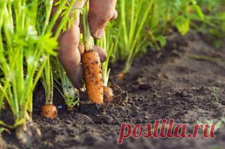 Марганцовка для морковки   Чтобы не привлечь морковную муху при прореживании моркови, нужно взять ведро воды и развести в нем 1 столовую ложку красного или черного молотого перца (хватит на 10 кв.м). Настаивать не нужно, лишь обрызгать морковь настоем перед прореживанием.   Если хотите получить урожай хорошей чистой моркови (без всякой гнили, заразы и т. д.) советую обязательно после второго прореживания в начале июля полить молодые растения водой (на ведро) с разведенной ...