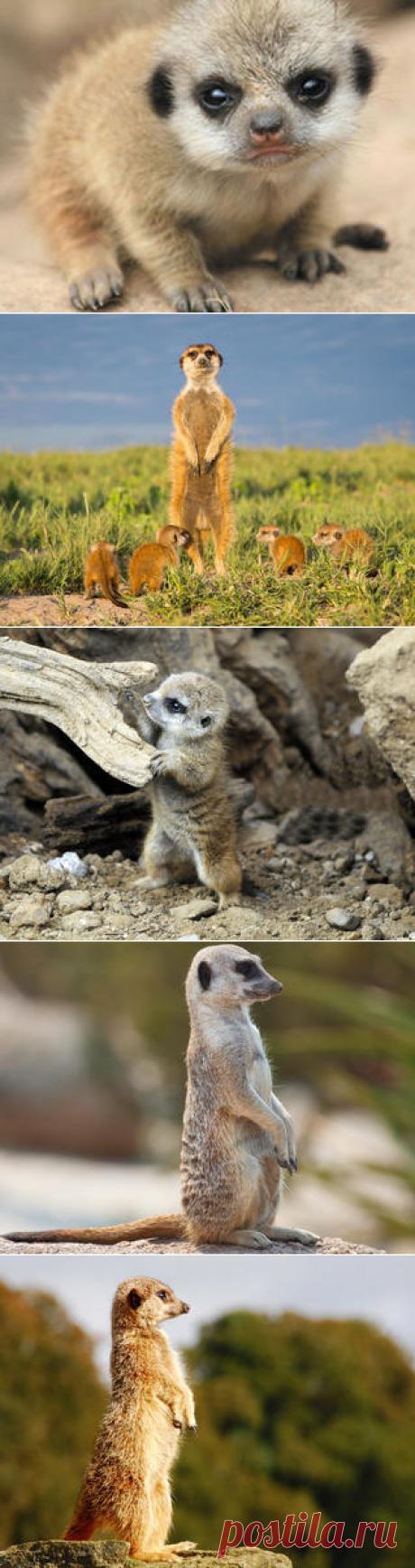 Смотреть изображения сурикатов | Зооляндия