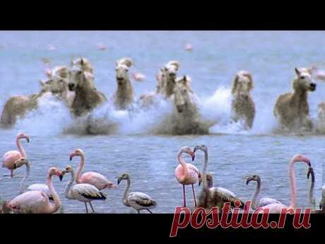 Видео: Табун диких лошадей несется на кормящихся фламинго