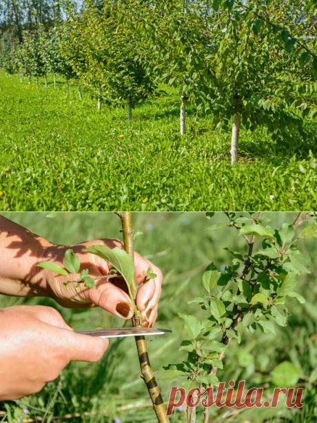 Мои яблони растут крепкими и здоровыми на протяжении многих лет. Раскрываю свои секреты Обрезки