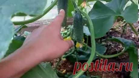 ФОРМИРОВАНИЕ ОГУРЦОВ В ОДИН СТЕБЕЛЬ. САМЫЙ УДОБНЫЙ И ПРОСТОЙ СПОСОБ. FORMATION cucumber stalk