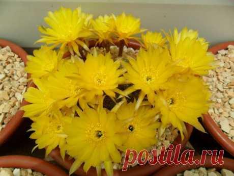 Кактус - форум -> Галерея -> Просмотр изображения -> Lobivia arachnacantha