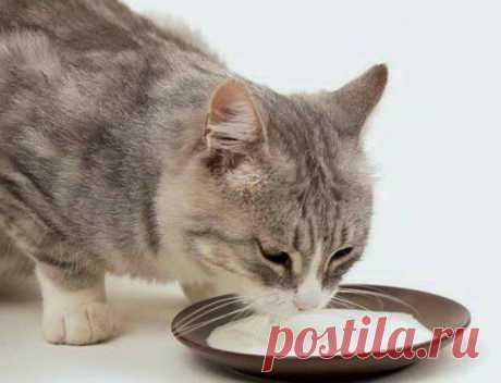 Можно ли кошке давать коровье молоко, возможные последствия кормления