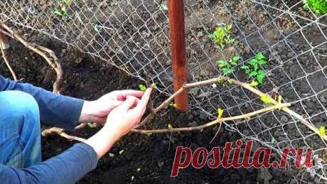 Выломка зеленых побегов на молодых кустах винограда | Виноград VM | Яндекс Дзен