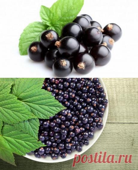Болезни черной смородины: описание с фотографиями и способы лечения