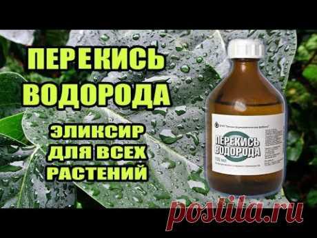 Перекись водорода для  комнатных растений- польза,применение, пропорции