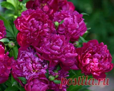 Пионы: 115 фото и инструкции по размножению и селекции цветка