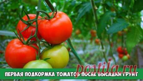 Первая подкормка томатов после высадки грунт | 6 соток