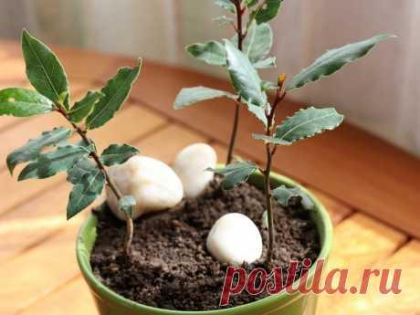 Выращивание лаврового деревца в огороде Как выращивать и ухаживать за лавровым деревцем в огороде