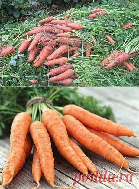 Когда копать морковь.