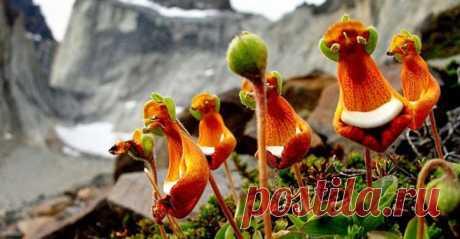 #цветы-иллюзии  Счастливый пришелец (Calceolaria Uniflora)   Растение Calceolaria Uniflora, или «добродушный пришелец» принадлежит к роду Кальцеолярия и растет в горах. Впервые оно было обнаружено в Южной Америке. Его цветки желто-бело-бордового цвета достигают размера 10 см. Не нужно иметь богатое воображение, чтобы разглядеть в этом растении смеющегося инопланетянина с большими глазами и зелеными ушками.