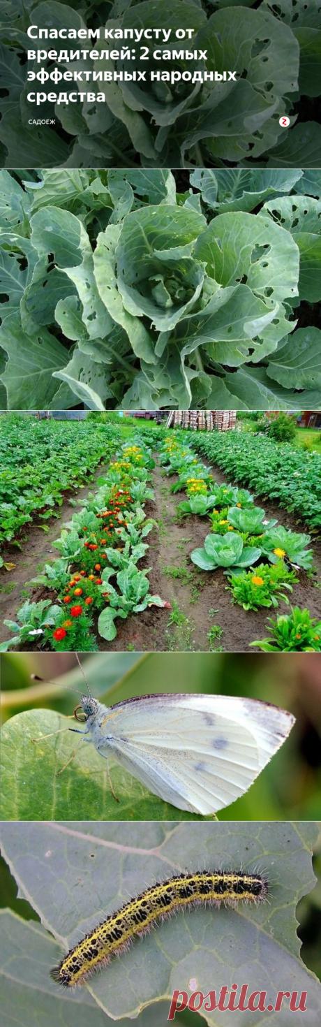 Спасаем капусту от вредителей: 2 самых эффективных народных средства | садоёж | Яндекс Дзен