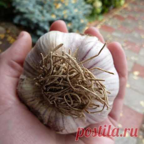 Марина Рыкалина в Instagram: «ЧЕМ ЗАПРАВИТЬ ГРЯДКИ ПОД ЧЕСНОК? В идеале чеснок будет расти на почве супесчаной, нейтральной и хорошо сдобренной органикой. ❌Навоз под…»