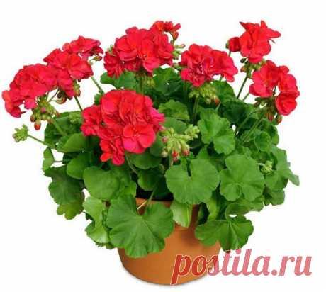 Оказывается, для того, чтобы герань всегда радовала цветением нужна всего одна капля йода...
