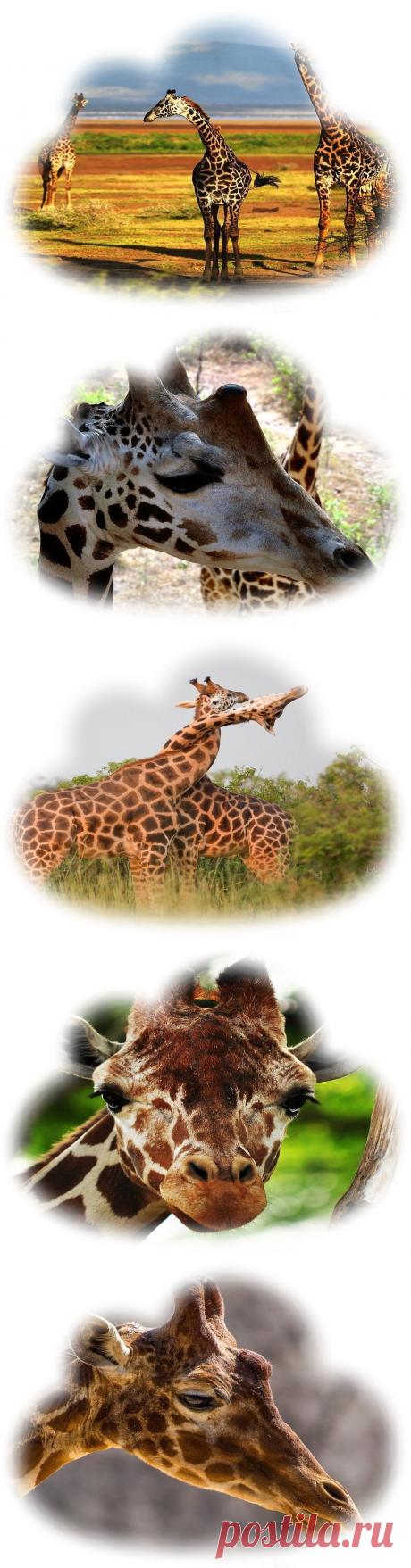 Что значит видеть во сне жирафа?  Сонник — Толкование сна к чему снится Жираф?