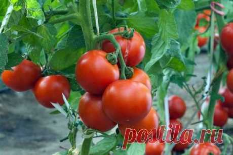 Уход за помидорами в августе Полная версия статьи. ЧТО НУЖНО ТОМАТАМ ВО ВРЕМЯ ПЛОДОНОШЕНИЯ.