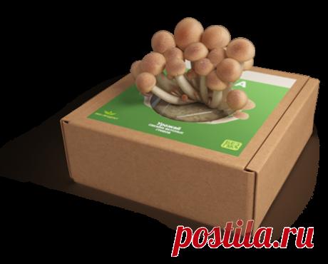 Золотой урожай - грибы в домашних условиях