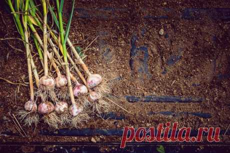 Что можно сажать после чеснока на следующий год Какие овощи можно посадить на грядки после чеснока. Что лучше и хорошо растет после чеснока - таблица. Рекомендации огородникам.