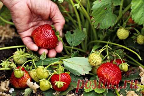 Уход за клубникой после сбора урожая: шесть условий отличного плодоношения