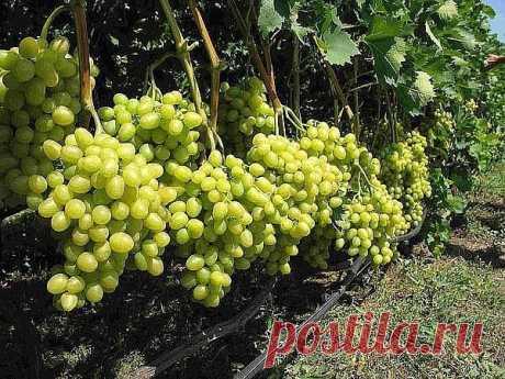 Календарь ухода за виноградом на каждый месяц | 6 соток