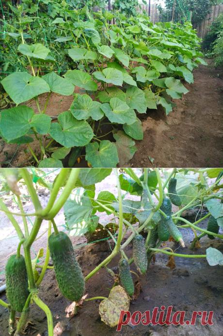 Огурцы урожая 2020 года. Фаворит среди сортов. Посадка и уход. | 6 соток. Светлана Аниканова | Яндекс Дзен #урожай #огурцы #посадка #дача #сад #огород #cucumbers