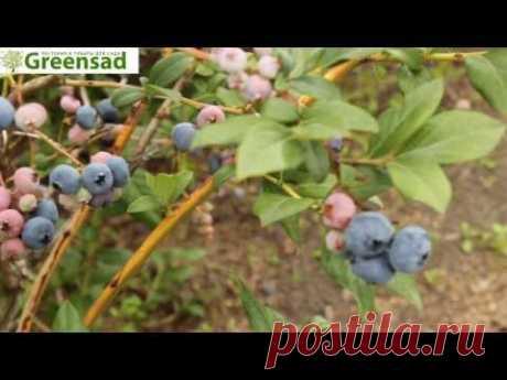 """Голубика """"Патриот"""" - видео-обзор от Greensad"""