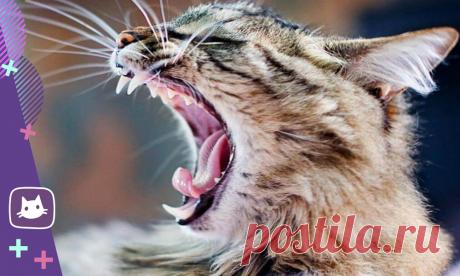 🐱Секреты кошачьих зубов, о которых должен знать владелец   Нос, хвост, лапы   Яндекс Дзен