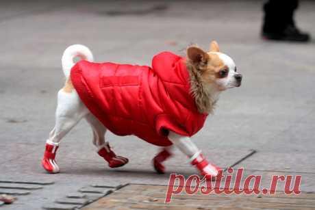 Поговорим о том, нужно ли одевать собаку зимой? А если нужно, то во что и как