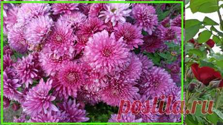Одно правило, чтобы подружиться с многолетней хризантемой на долгие годы | 6 соток